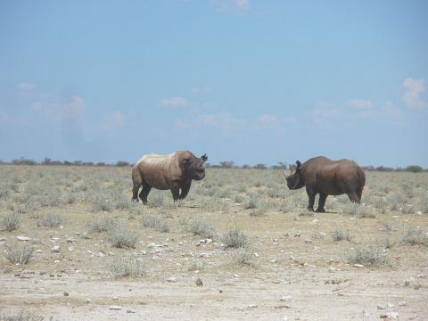 rinoceronte-negro.JPG